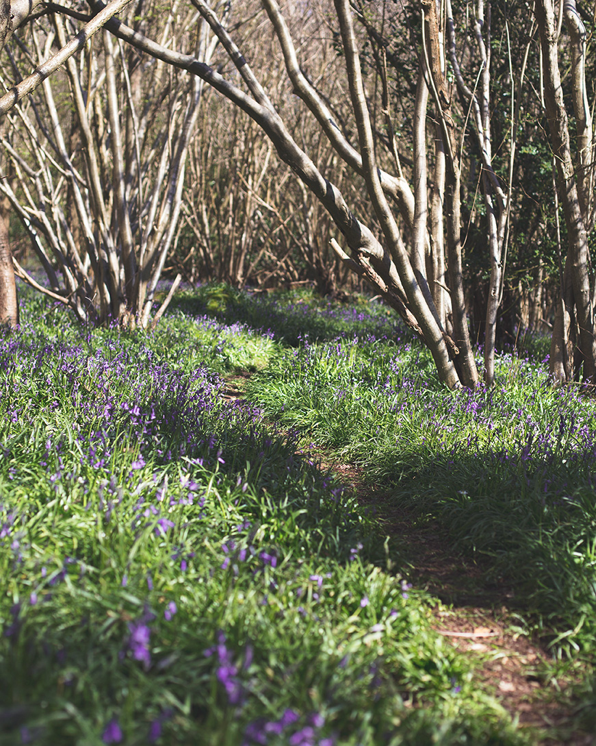 Bluebells in Hampshire ancient woodland